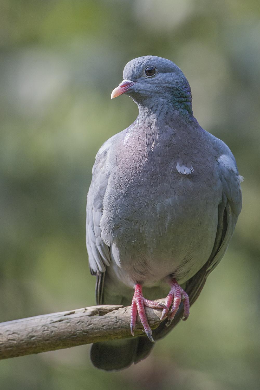 Holhtaube, eine Waldvogelart. © S. Rösner (c)