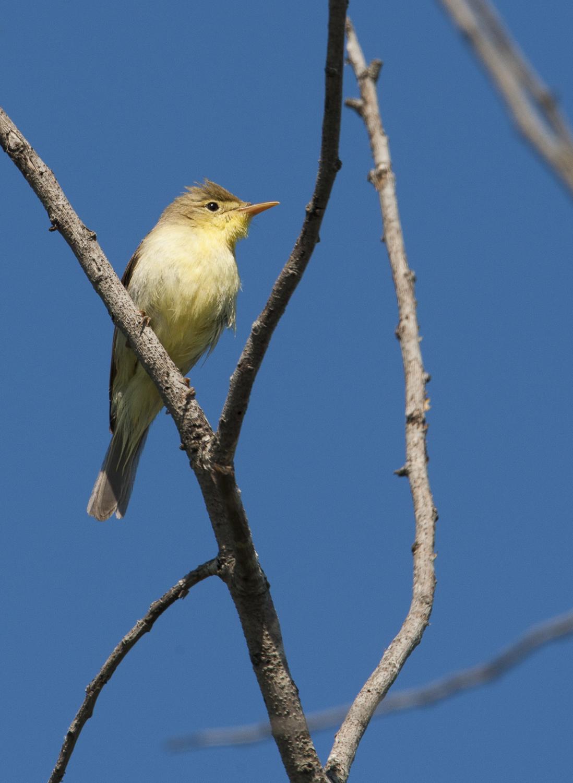 Gelbspötter auf Singwarte. © S. Rösner