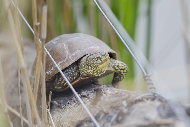Sumpfschildkröte an einem Beobachtungsstand. © S. Rösner