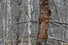 Totholz (Kiefer) im Moorwald. © S. Rösner