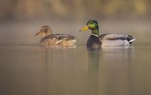 Ente und Erpel. © S. Rösner